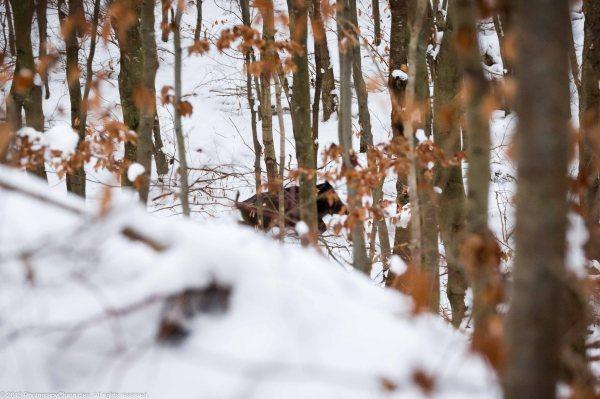 wild boars 1.
