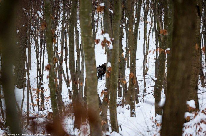 wild boars 5.