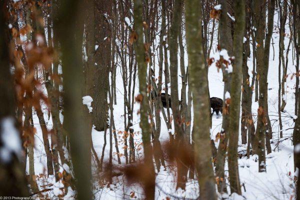 wild boars 6.