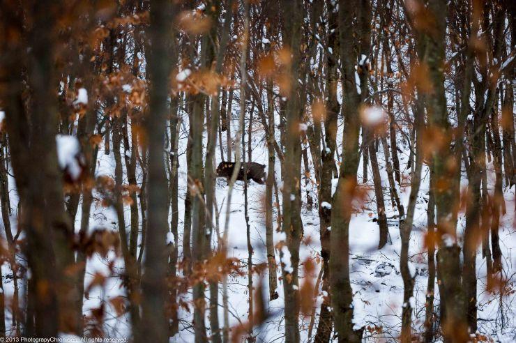 wild boars 7.