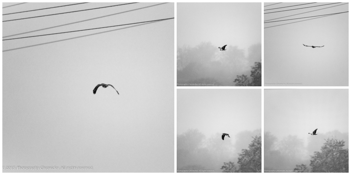 Buzzard Collage