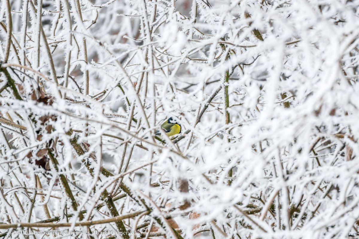 Winter titmouse 3