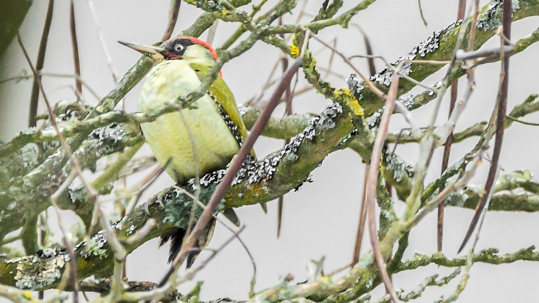 Woodpecker feature